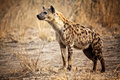 Spotted Hyena Royalty Free Stock Image - 25832716