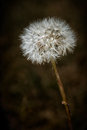 Closeup Of Dendelion With Gone To Seed Stock Image - 25835331
