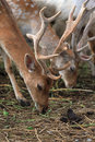 Fallow Deer [Dama Dama] Stock Photo - 25837960