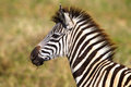 Young Zebra Colt Wildlife Royalty Free Stock Photography - 25845217