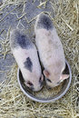 Piglets  Eating Stock Images - 25847284