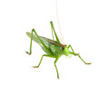 Grasshopper Isolated Stock Images - 25852954