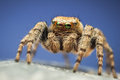 Colorful Evarcha Hoyi Jumping Spider Stock Photography - 25863712