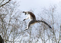 A Ring-tailed Lemur Stock Images - 25864394