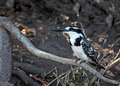 Pied Kingfisher Royalty Free Stock Photography - 25878107