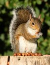 Grey Squirrel Stock Image - 25879251