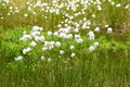 Cotton Grass Royalty Free Stock Image - 25883236