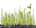 Sprout Grass Royalty Free Stock Images - 25885259