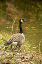 Canada Goose By Water In Autumn Stock Photography - 25894172