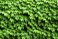 Ivy Growing On Wall Royalty Free Stock Photography - 2594897