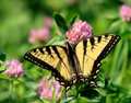 Butterfly On Clover Flower Royalty Free Stock Images - 2595259