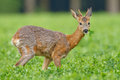 Young Roe Buck In Clover Meadow Royalty Free Stock Image - 25906416