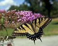 Eastern Tiger Swallowtail (Papilio Glaucus) Royalty Free Stock Image - 25935356