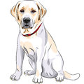 Vector Yellow Dog Breed Labrador Retriever Sitting Royalty Free Stock Photo - 25953035