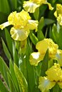 Yellow Iris Stock Images - 25955044