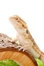Dragon Pet Stock Photo - 25967430