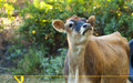 Young Cow Royalty Free Stock Photos - 25972238