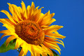 Sunflower Head S Close Up Royalty Free Stock Photo - 25982825