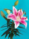 Lily Flower Isolated On Blue Background Stock Image - 25984551