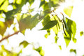 Green Leaves Royalty Free Stock Image - 25987926