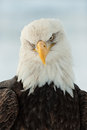 Close Up Portrait Of A Bald Eagle Royalty Free Stock Photography - 25988597