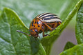 Colorado Potato Beetle Stock Photo - 25989580