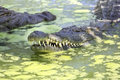 Nile Crocodile In Swamp Royalty Free Stock Images - 25996859
