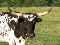 Spotted Long Horn In Field Stock Images - 2603044