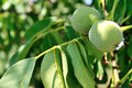 Green Nuts Stock Image - 26002151
