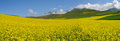 Rape Seed Field Under Blue Sky Royalty Free Stock Photos - 26010378