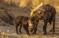 Hyena Bully Stock Photography - 26010922