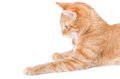 Isolated Red Cat Stock Photos - 26011533