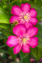 Pink Clematis Royalty Free Stock Photo - 26012665