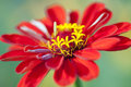 Zinnia Royalty Free Stock Photos - 26018678