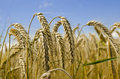 Harvest Time Royalty Free Stock Photo - 26019385