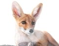 Red Fox Isolated On White Stock Image - 26033261