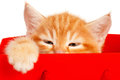 Red Kitten Royalty Free Stock Photography - 26036627