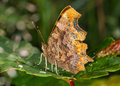 Comma Butterfly (Polygonia C-album) Stock Photography - 26037732