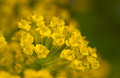 Euphorbia Cyparissias Close Up Stock Photo - 26056630