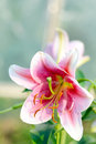 Blooming Lily Flower In Sunlight Garden Royalty Free Stock Photography - 26057067