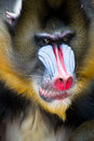 Mandrill Royalty Free Stock Photos - 26061108