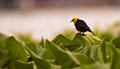 Yellow-hooded Blackbird Royalty Free Stock Images - 26063259