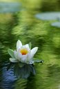 White Water Lily Stock Photos - 26075543