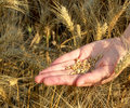Seeds And Wheat Land Royalty Free Stock Photo - 26076455
