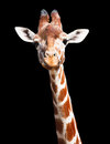Giraffe Black Background Royalty Free Stock Images - 26082579