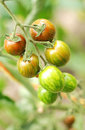 Organic Cherry Tomatoes On The Vine Royalty Free Stock Photography - 26090407