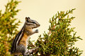 Chipmunk Royalty Free Stock Photo - 26091035