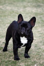 French Bulldog Posing Stock Photos - 26096093