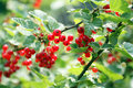 REDCURRANTS IN GARDEN Royalty Free Stock Image - 2612336