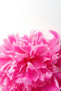 Peony Flower Royalty Free Stock Images - 2617789